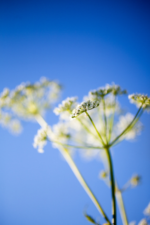 Anthriscus sylvestris, also known as cow parsley Banco de Imagens - 81265779
