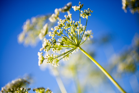 Anthriscus sylvestris, also known as cow parsley Banco de Imagens - 81265986