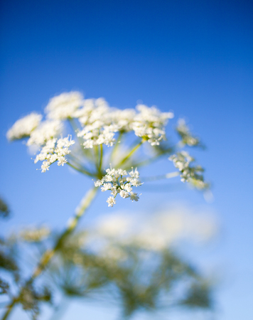 Anthriscus sylvestris, also known as cow parsley Banco de Imagens - 81263915