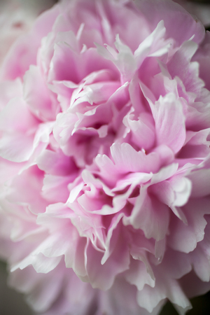Close up of pretty pink peonies Stock Photo