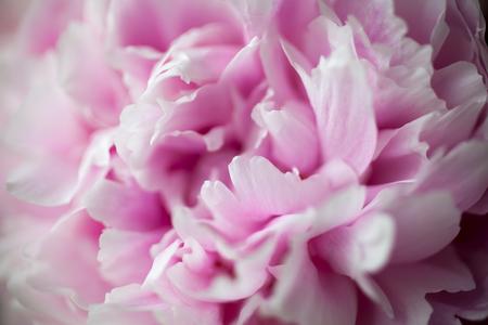 かわいいピンクの牡丹のクローズ アップ
