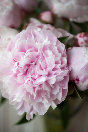 Close up of pretty pink peonies Reklamní fotografie