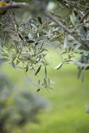 Italian olive trees in spring Standard-Bild - 102379659
