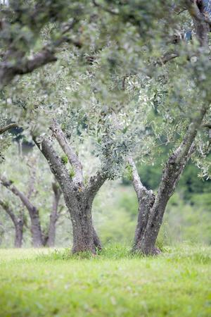 Italian olive trees in spring