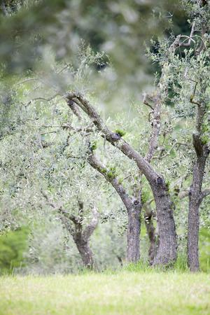 Italian olive trees in spring Standard-Bild - 102379668