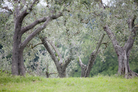 Italian olive trees in spring Standard-Bild - 102379674
