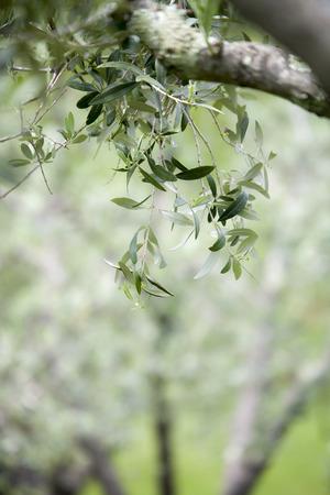Italian olive trees in spring Standard-Bild - 102379680