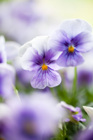 Bunch of homegrown pansies in purple Archivio Fotografico - 102379684