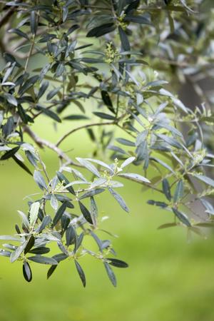 Italian olive trees in spring Standard-Bild - 102379689