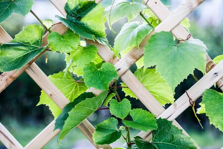 Growing grapes in home garden