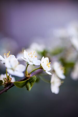 Close up of white cherry flower Stock fotó