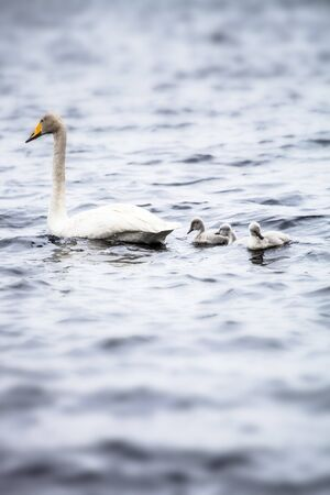 Swan family with three babies swimming in a lake