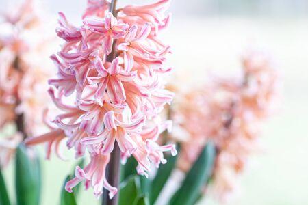 Spring hyacinth in light pastel colour Stock fotó