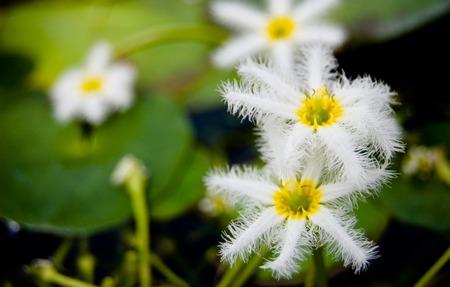 aqa: White lotus