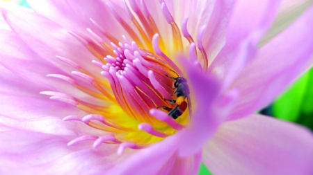 Bee gathering pollen from a pink lotus Stock Photo