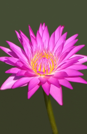 Close up of a pink lotus bloom white smooth background