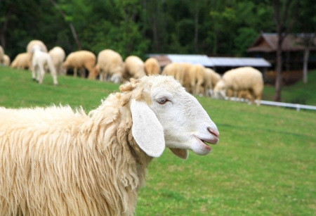 Close up one sheep on green field Stock Photo