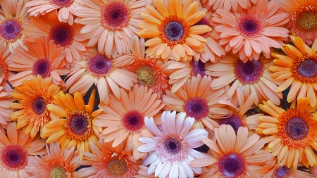 Gerbera flower wall with colorful and blossom Stock Photo