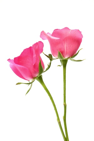 Two pink roses on white background