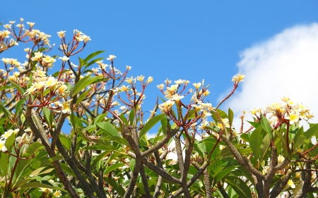 Group of frangipani (plumeria) flower blooming against the blue sky