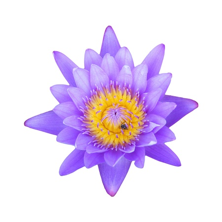 Purple lotus isolated on white background photo