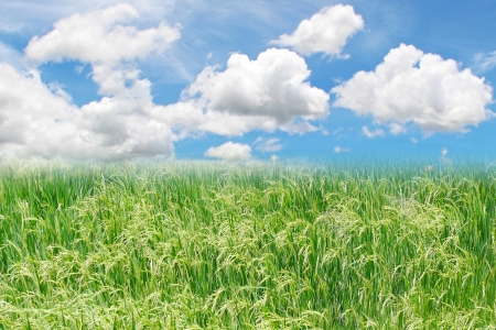 View of green paddy field and blue sky Stock Photo