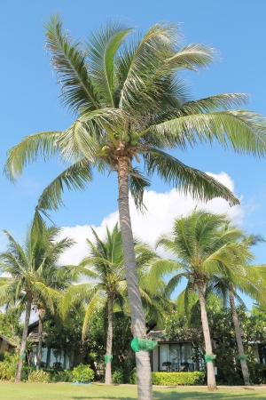 Coconut trees in a garden with clear sky