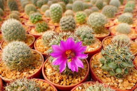 Bee inside pink flower in cactus garden