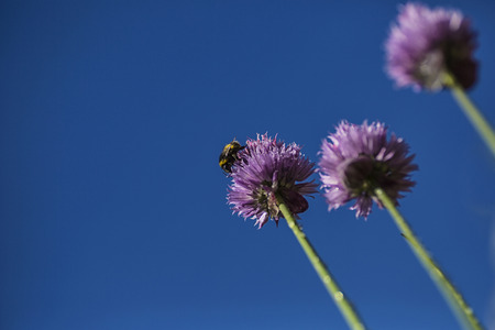 atop: Bumble bee sitting atop a flowering chive