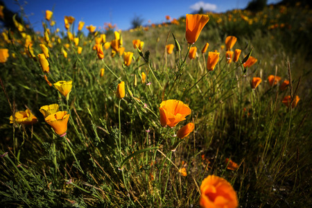 californian: Wild Californian poppies (Eschscholzia Californica), Wanaka, New Zealand