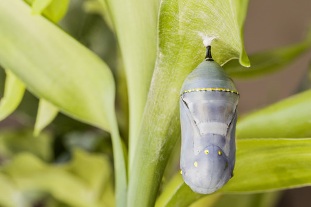 pupa: Monarch pupa changing colour
