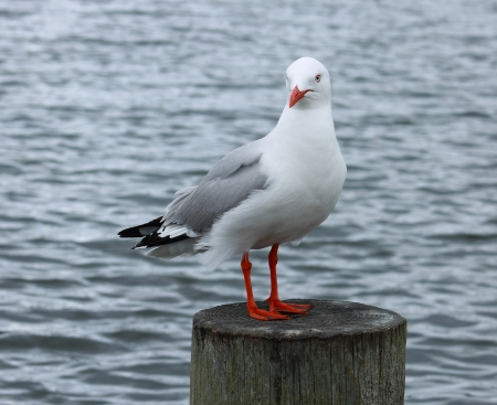 billed: Red Billed Sea Gull Stock Photo