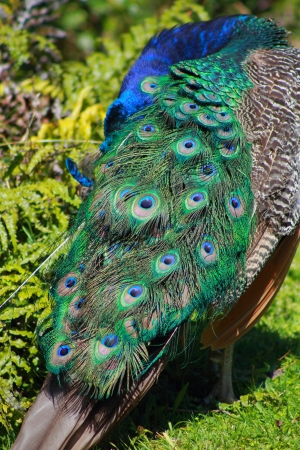 preening: Peacock Preening Stock Photo