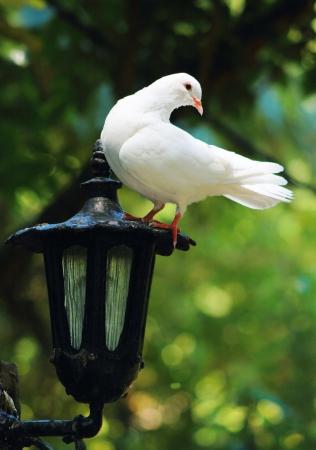 paloma blanca: Paloma Blanco sobre Lantern Foto de archivo