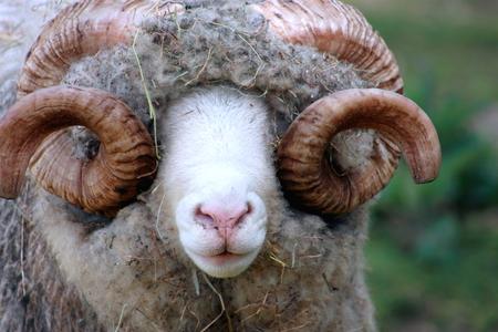dorset: Close Up of a Dorset Ram