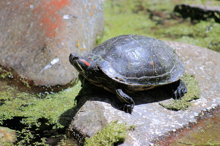 semi aquatic: Red Eared Slider Turtle