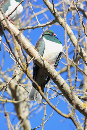 winter garden: Kereru in Winter Garden