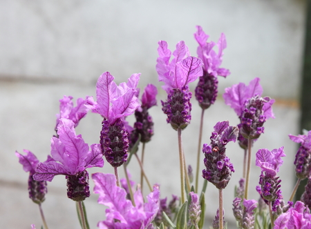 topped: Topped Lavender