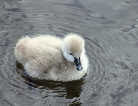 cygnet: Black Swan Cygnet