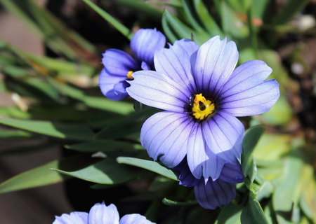 californian: Sisyrinchium Californian Skies Stock Photo