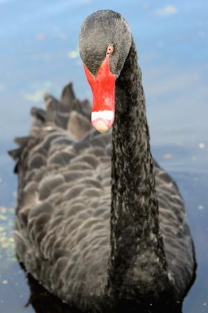 cygnus atratus: Black Swan