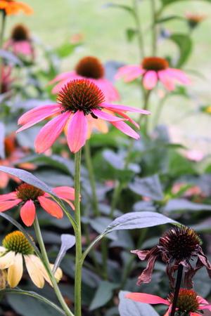 echinacea: Echinacea Flowers