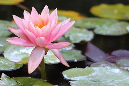 nymphaeaceae: Water Lily Nymphaeaceae