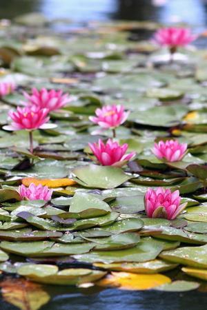 nymphaeaceae: Water Lillies Nymphaeaceae