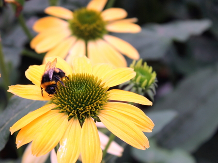 bee on flower: Bumble Bee on Echinacea flower