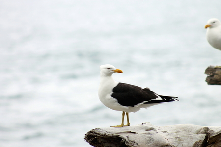 southern: Southern Black-backed seagull