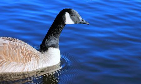 canadian: Canadian Goose Stock Photo