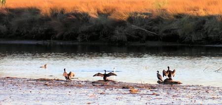 phalacrocoracidae: A group of cormorants enjoying the late day sun at low tide on estuary mudflats.