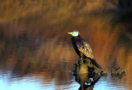 cormorant: Little Pied Cormorant Stock Photo
