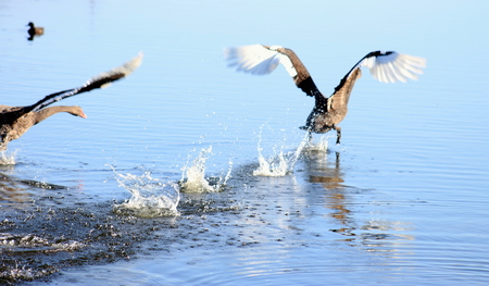 cygnus atratus: Black Swan treading water